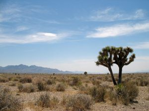 Yucca brevifolia in the Mojave Desert — southwestern Nevada (by Amateria1121, Wikimedia Commons, (CC BY-SA 3.0)